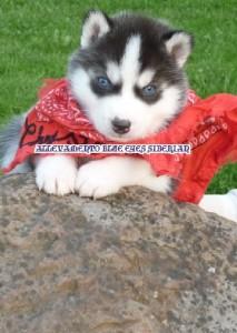 foto-cuccioli-siberian-husky-allevamento-blue-eyes-125
