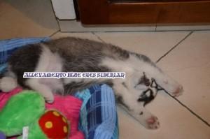 foto-cuccioli-siberian-husky-allevamento-blue-eyes-127