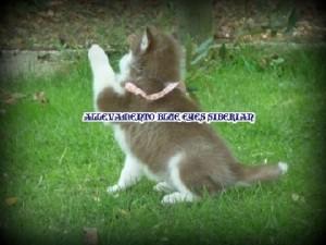 foto-cuccioli-siberian-husky-allevamento-blue-eyes-131