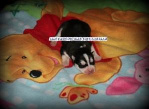 foto-cuccioli-siberian-husky-allevamento-blue-eyes-132
