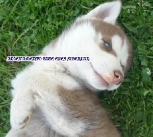 foto-cuccioli-siberian-husky-allevamento-blue-eyes-136