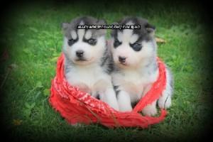 foto-cuccioli-siberian-husky-allevamento-blue-eyes-144