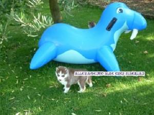 foto-cuccioli-siberian-husky-allevamento-blue-eyes-153