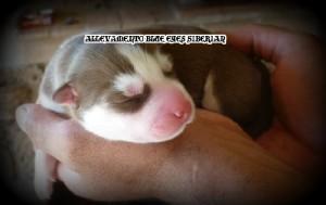 foto-cuccioli-siberian-husky-allevamento-blue-eyes-154