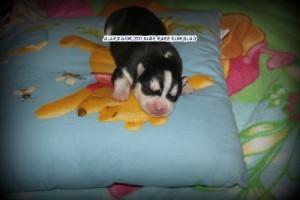 foto-cuccioli-siberian-husky-allevamento-blue-eyes-156