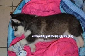 foto-cuccioli-siberian-husky-allevamento-blue-eyes-157