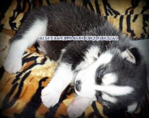 foto-cuccioli-siberian-husky-allevamento-blue-eyes-158
