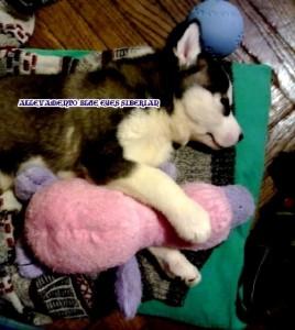 foto-cuccioli-siberian-husky-allevamento-blue-eyes-160