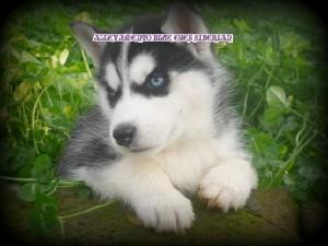 foto-cuccioli-siberian-husky-allevamento-blue-eyes-161