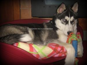 ice-blue-eyes-siberian-husky-cucciolo3