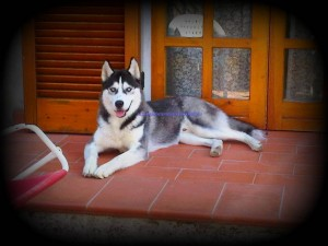 king-blueeyessiberian-husky5