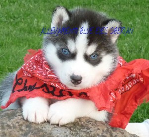 cucciolata-siberian-husky