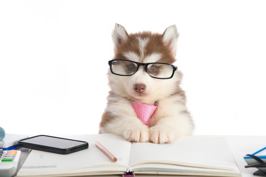 Le vostre domande sui Siberian Husky
